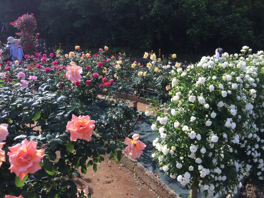 1-3春のばら苑-0615143413